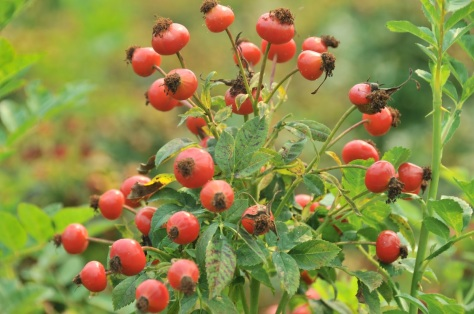Image result for rose hips